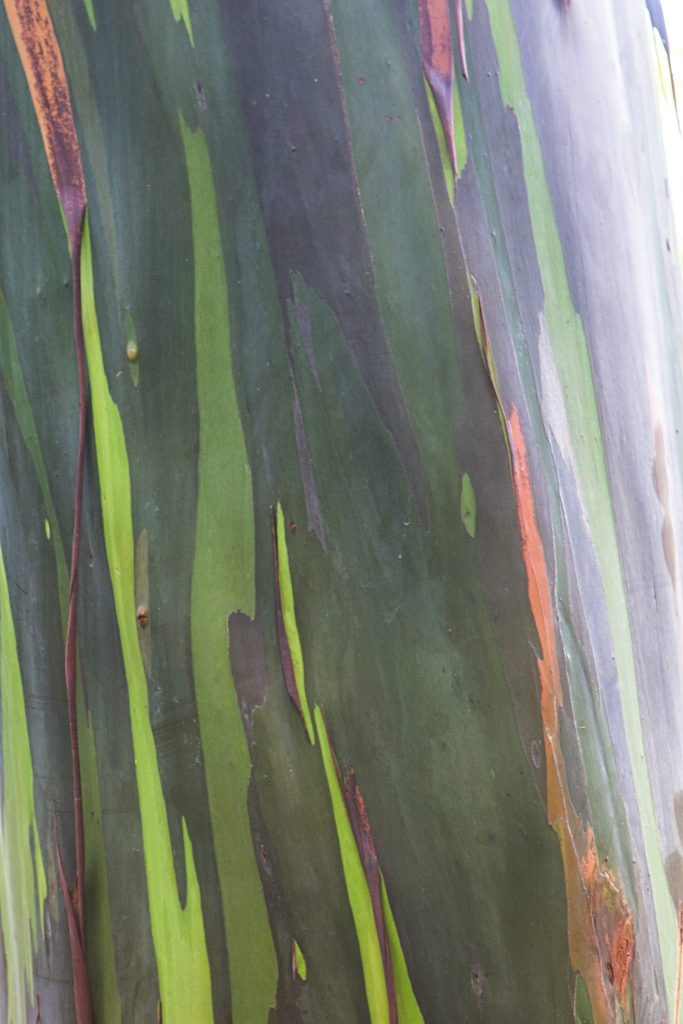 rainbow  Eucalyptus close up botanical world adventures