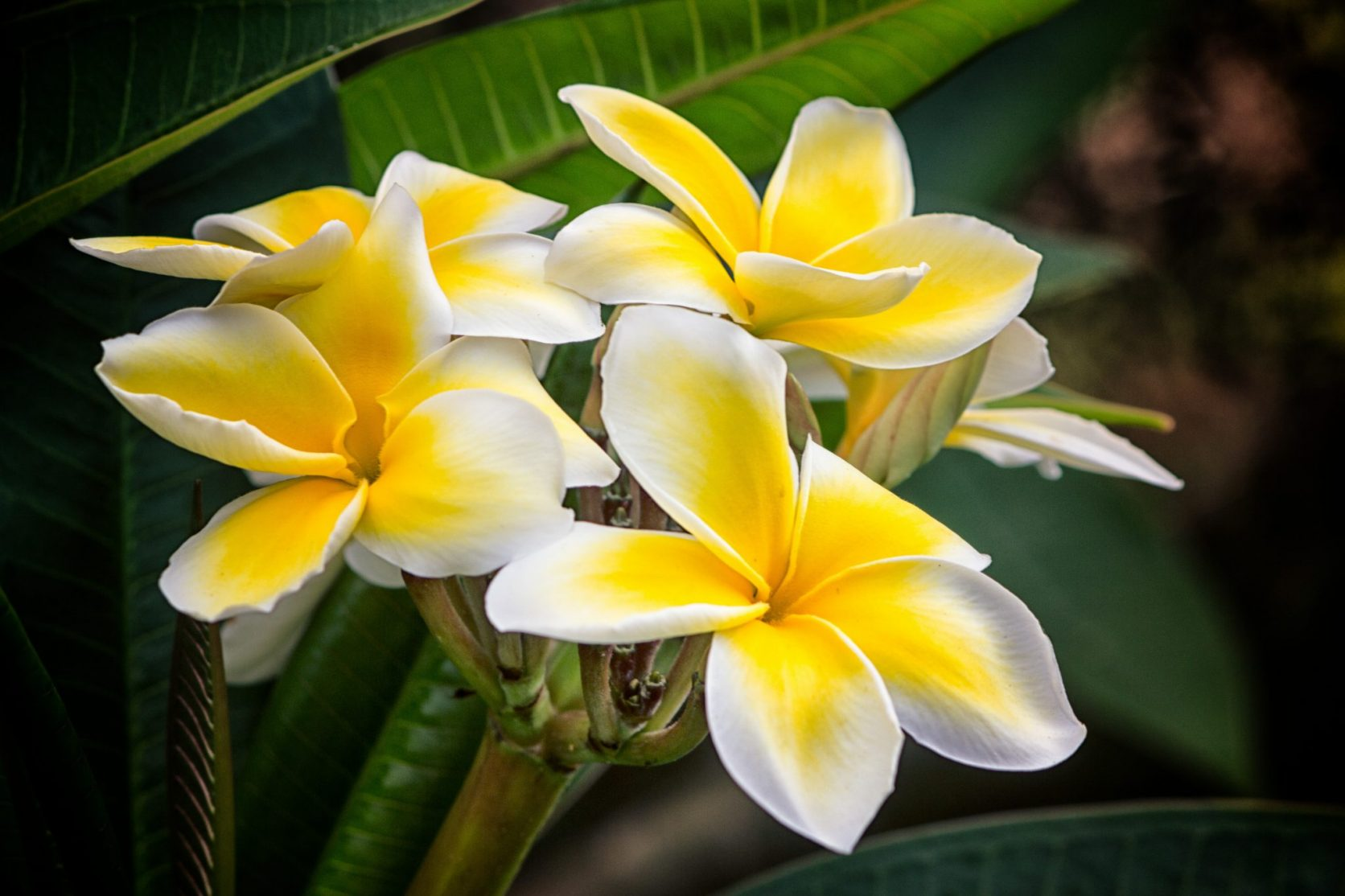plumeria flower cluster big island hawaii big island photographer